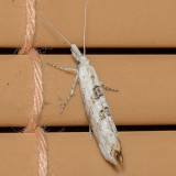 2380 Ypsolopha falciferella (Ypsolopha falciferella)