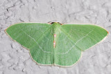 7035 Columbian Emerald (Nemoria darwiniata)