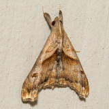 8397 Dark-spotted Palthis(Palthis angulalis)