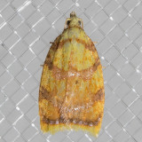 3502 Red-edged Acleris (Acleris albicomana)
