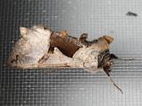 8923 Large Looper Moth (Autographa ampla)