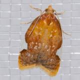 3505 Golden Leaf Roller (Acleris holmiana)