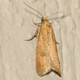 3566 Omnivorous Leaftier Moth (Cnephasia longana)