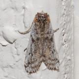 5968 Zophodia grossulariella (Zophodia grossulariella)