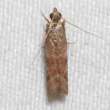 6001 Ephestiodes infimella   (Ephestiodes infimella)