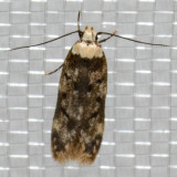 1067 White-shouldered House-Moth (Endrosis sarcitrella)