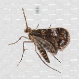 4755 Waterlily Leafcutter (Elophila obliteralis)