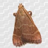 5567 (Arta epicoenalis)