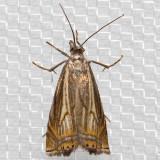 5391 Cranberry Girdler (Chrysoteuchia topiarius)