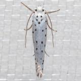 2421.1 Apple Ermine Moth (Yponomeuta malinellus)