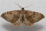 7291 Rheumaptera undulata (Rheumaptera undulata