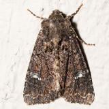 9348 Yellow-headed Cutworm (Apamea amputatrix)