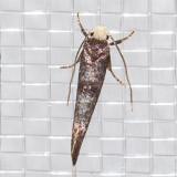 2414 Rufous-tipped Swammerdamia Moth (Swammerdamia pyrella)