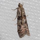 5727 Promylea lunigerella   (Promylea lunigerella)