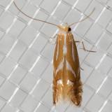 5408 Two-banded Catoptria (Catoptria latiradiellus)