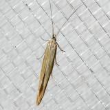 1365  Streaked Coleophora    (Coleophora cratipennella)