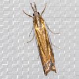 5357 Leach's Grass-veneer (Crambus leachellus)