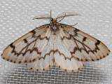 6907 Phantom Hemlock Looper (Nepytia phantasmaria)