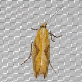 2371 Canary Ypsolopha (Ypsolopha canariella)