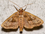 9547 Brown Angle Shades (Phlogophora periculosa)