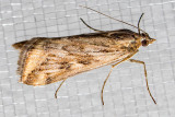 5017 Alfalfa Webworm (Loxostege cereralis)