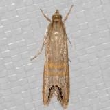 5454BeltedGrass-veneer (Euchromiusocellea)