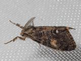 8312 Douglas Fir Tussock (Orgyia pseudotsugata)