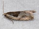 3355 Ancylis subaequana (Ancylis subaequana)