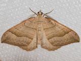 7406 Zenophleps lignicolorata