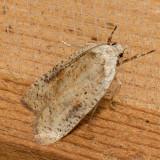 0895 Gorse Tip Moth (Agonopterix nervosa)