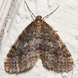 7438 (Operophtera occidentalis)(T)