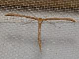 6234 Morning-glory Plume Moth - (Emmelina monodactyla)