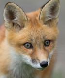 fox cub 64