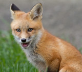 fox cub 66