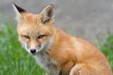 fox cub 69