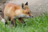 fox cub 70