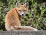 fox cub 71