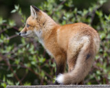 fox cub 78