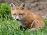 fox cub 79