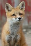 fox cub 80