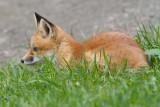 fox cub 81