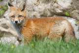 fox cub 85