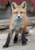 fox cub 86
