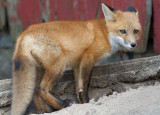 fox cub 87