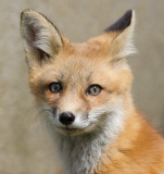 fox cub 88