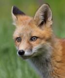 fox cub 89
