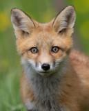 fox cub 91