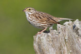 savannah sparrow 69