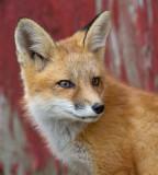fox cub 92