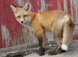 fox cub 93